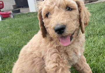 Small Standard Goldendoodle