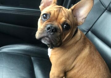 Male Frenchie 7mo