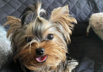 Gorgeous Teacup Female Yorkie Puppy