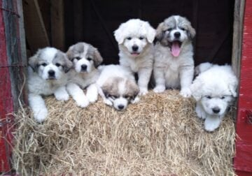 AKC Great Pyrenees Puppy