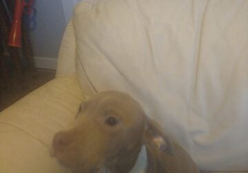 Bully pups wanting new home