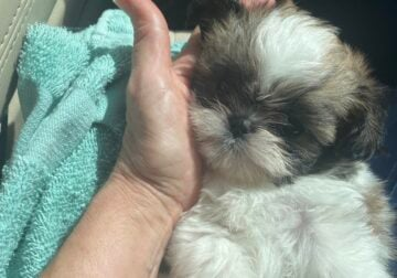 Extra small ShihTzu's for sale! 3 Females 1 Male.