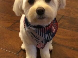 2 Yrs old two Male Havanese