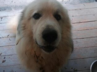 Odin – Great Pyrenees