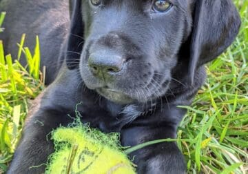 Pointador Puppies for Sale