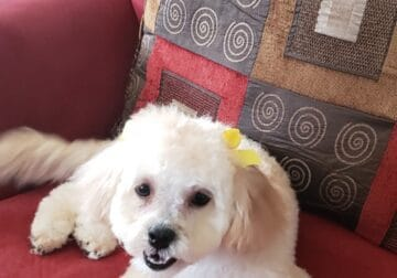 Mini Poodle for Rehoming