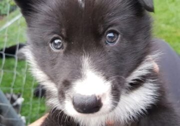 selling border collie / husky puppies