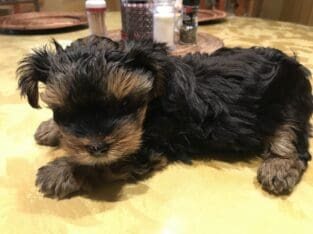 Pure Puppy Yorkie For Sale