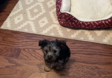 Need to sell 9 week old Yorkie