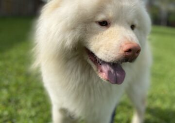 Beautiful Chow Chow for sale