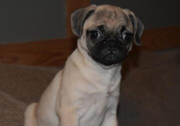 5 Month Old Female Pug 1900.00