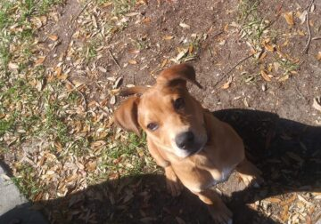 Mutt mix with labrador, pitbull and Jack Russell