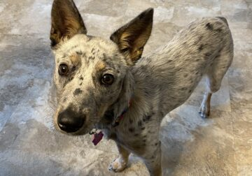 Texas Heeler (mix) for rehoming