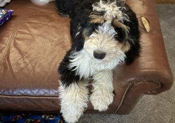 Mini Bernedoodle – Have Papers