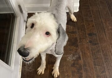 Sheepadoodle Old English Sheepdog bred with Poodle