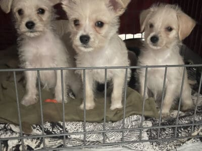 Very sweet puppies for sale!…