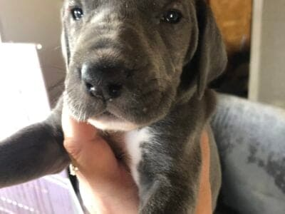 Only 4 Great Dane Puppies