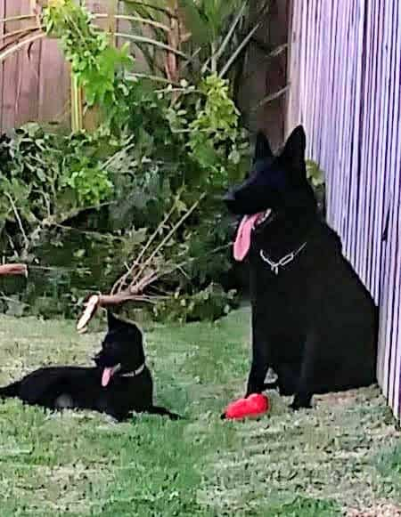 AKC GSD puppies Black and Sable