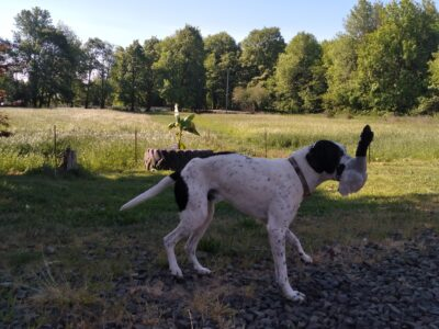 Gsp and great perinese. 1 year old male pup.super