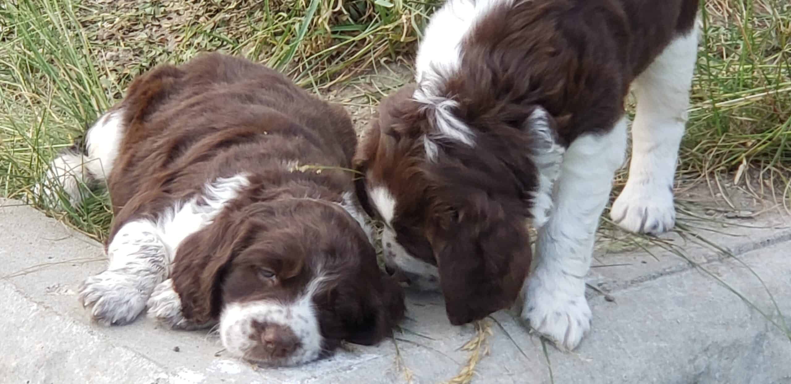AKC-Puppies ready for pets and/or field training!