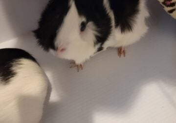 2 female guinea pigs, cage and accessories