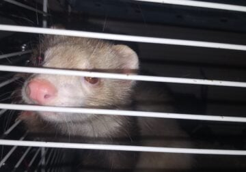 2 full grown ferrets to good home