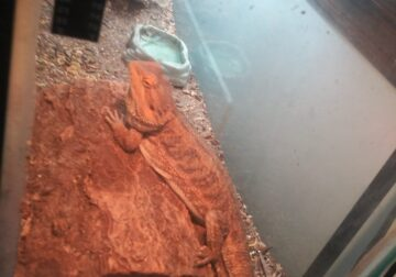 Bearded Dragon with tank and lights