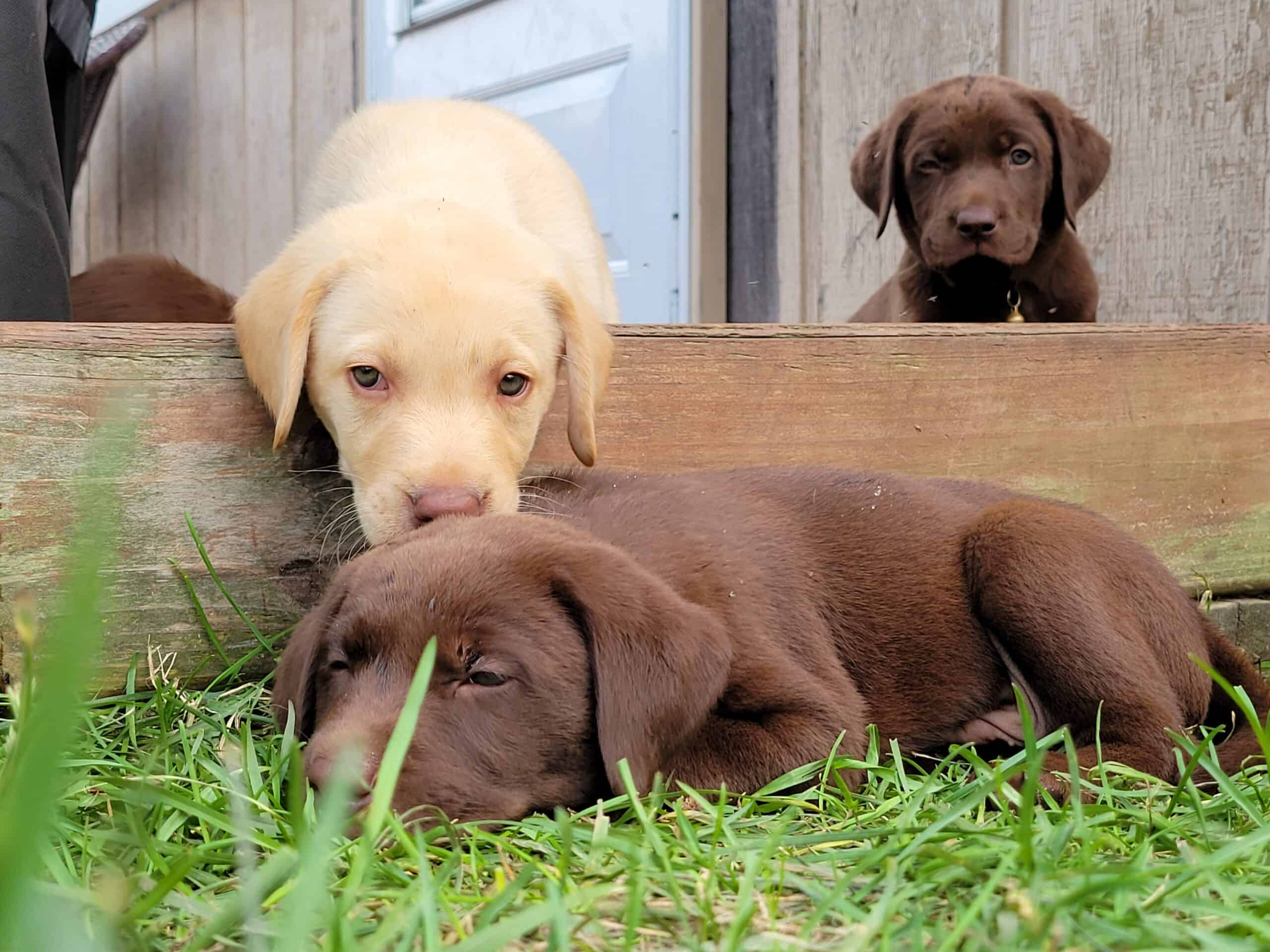 MALE AND FEMALE LABRADOR PUPPIES $250 dep. Require