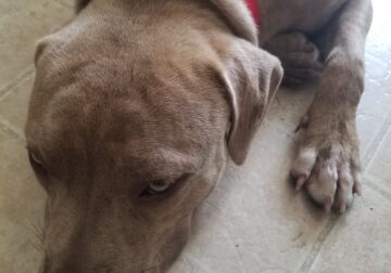 Full blood blue Pit bull about 8to9 months