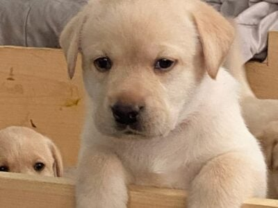 Adorable Yellow AKC lab puppies for sale!