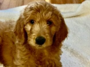 Female Red F1b Goldendoodle Puppy