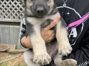 German Shepherd Puppies Looking for a Home!