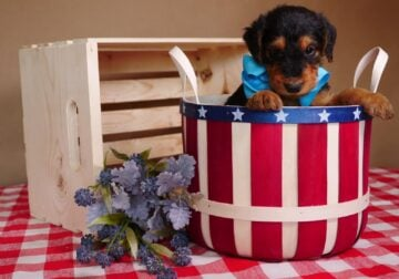 AKC Airedale Puppies