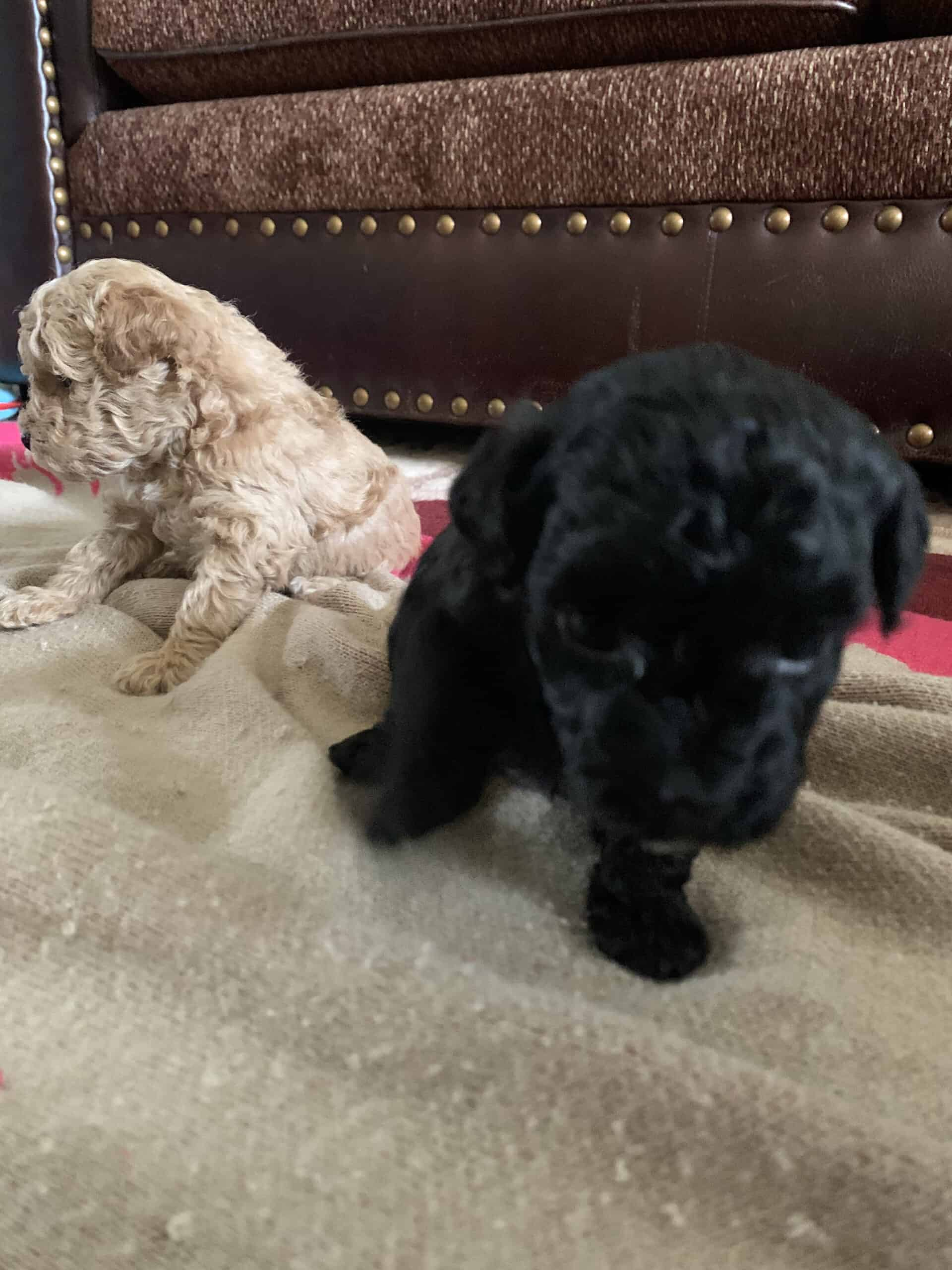 Toy poodles