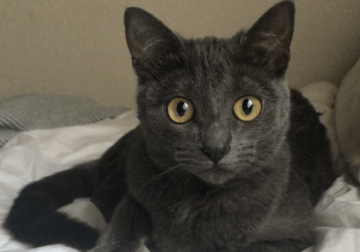1 year old Russian Blue