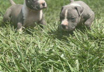 Abkc blue/white bully puppies