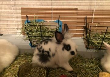 Baby lionhead bunnies and one adult female bunny f