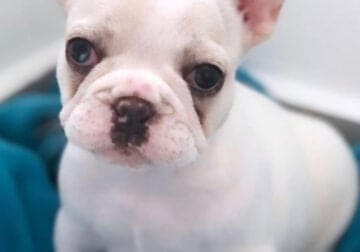 Looking to relocate my 6 month old Frenchie