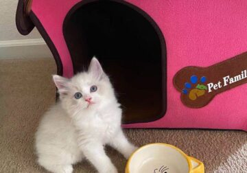 Super Beatiful Ragdoll Girl looking for new home