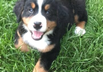 Female Bernese Mountain Dog For Sale
