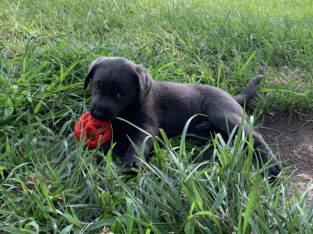 AKC Registered Silver and Charcoal Labrador Puppy