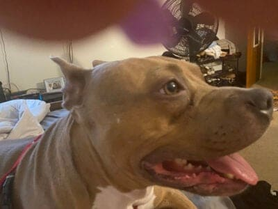 3 year old Female Pitt bull free to a good home