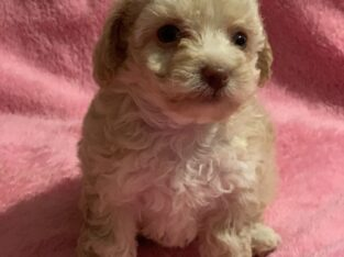 Toy poodle females
