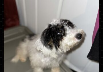 Bright-eyed Sheepadoodle Puppy For Sale