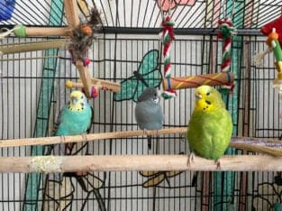 Parakeets/Budgie (x3: Stormy, Clivette, and Jules)