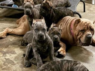 ICCF registered – 10 week old Cane Corso Puppies