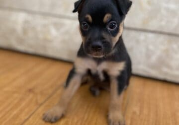 8 week puppy mixed Rottweiler with chihuahua