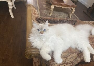 One year old female purebred Siberian cat for sale