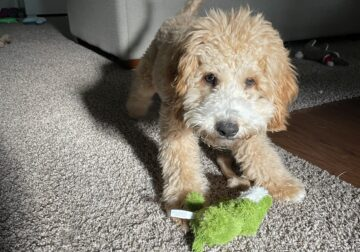 7 month old/certified/Cavapoo