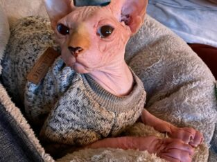 Male Sphynx 10 months old papers shots